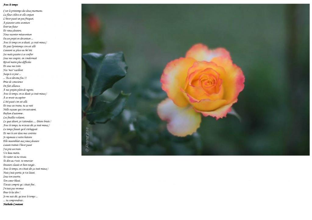 La rose Safran