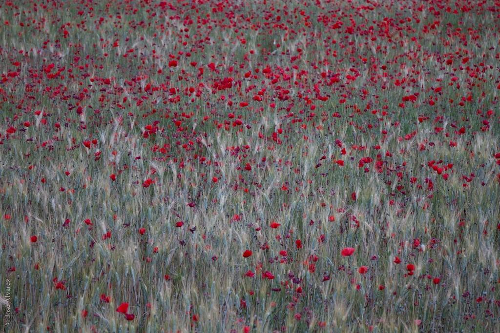 Le frémissement des blés, l'envol des fleurs de pavot. Opium !!!